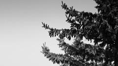 Dark Tree (liqube) Tags: winter sky blackandwhite tree monochrome dark blackwhite outdoor gradient fir simple spruce solid greyscale
