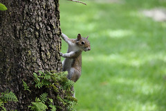 """Squirrel on Tree"" by Anabel Z."