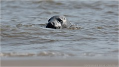 "Grey Seal (DaveChapman ""If it flies,I shoot it"") Tags: ocean sea grey bull lincolnshire seal colony donnanook"