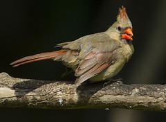 Northern Cardinal, female (AllHarts) Tags: ngc npc memphistn backyardbirds femalenortherncardinal naturesspirit naturescarousel thesunshinegroup