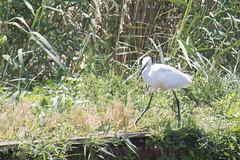 IMG_5750 (elkost) Tags:  kalochori kalochrion birds egrettagarzetta