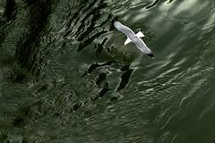 I don't know where the seagulls  have their nests... (@ntomarto) Tags: italy seagulls verde green bird water italia poem seagull poesia acqua gabbiani gabbiano uccello vincenzocardarelli cardarelli antomarto ntomarto