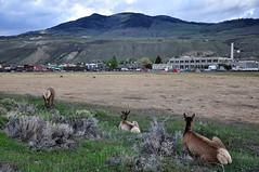 GTY_0561 (Kerri M.) Tags: montana yellowstonenationalpark elk gardinermt nationalparks gardiner yellowstone wildlife nature