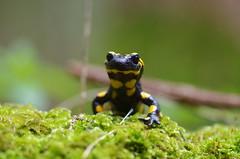 Feuersalamander (Aah-Yeah) Tags: bayern salamander salamandra achental caudata feuersalamander cheimgau