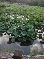 2016-06-07 16.52.27 (Chien-Wen Chen) Tags: plant taiwan taipei  nelumbonaceae taipeibotanicalgarden
