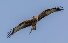 sideways glance (davidrhall1234) Tags: bird nature birds nikon wildlife raptor redkite wildlifetrust rspb birdsofbritain nikond7100