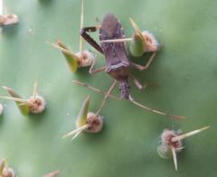 Cactus Bug (Narnia femorata) (aking1) Tags: cactusbug insects mtrp missiontrailsregionalpark narniafemorata places wildlife sandiego california unitedstates