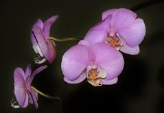 Orchid x 4 (stevelamb007) Tags: orchid flower nikon orchids chicagobotanicgarden nikkor18200mm stevelamb d7200