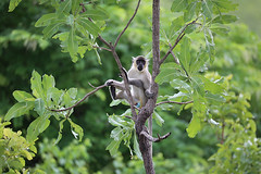 Green Monkey 2 (cj_hunter) Tags: africa game tree green animal animals night dark monkey african wildlife safari ghana greenmonkey nightsafari