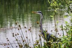 Heron & Tern, Brandon Marsh, Warwickshire (hman01uk) Tags: heron warwickshire brandonmarsh