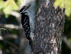 Hairy Woodpecker, Gander Cross-country Ski Trail (frank.king2014) Tags: ca canada hairywoodpecker gander newfoundlandandlabrador