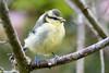 Blue tit (juv) (Shane Jones) Tags: bird nikon tit wildlife juvenile bluetit d500 tc14eii gardenbird 200400vr