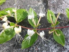 P5240077 (kevinandrewmassey) Tags: linvillegorge unidentified honeysuckle plant flower flora wildflower n