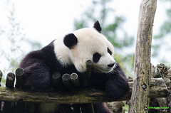 Pairi Daiza (chris062) Tags: zoo panda belgique singe daiza pairi pairidaiza