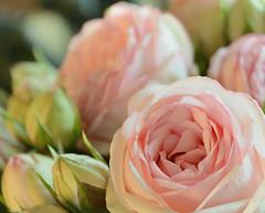 Pink roses (Alona Azaria) Tags: pink roses rose nikon bokeh nikkor d800 nikond800 1635mmf4