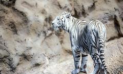Tigre blanco (Carlos Benedicto) Tags: canarias tenerife canaryislands whitetiger loroparque tigreblanco