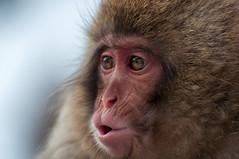 Japanese Macaque, Nagano (Mo Ghi) Tags: japan onsen nagano snowmonkey japanesemacaque