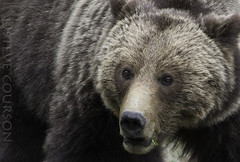 grizz (Steve Courson) Tags: yellowstonenationalpark grizzlybear stevecourson