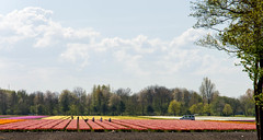 _DSC2759 (durr-architect) Tags: sky plant flower color colour field bulb landscape bright outdoor flowerbed tulip fields serene dronten flevoland oostelijk