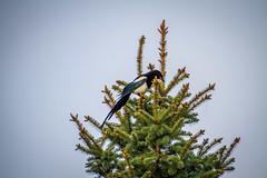 Black-billed Magpie (skram1v) Tags: blue canada blackwhite purple manitoba magpie gre opportunist blackbilled jayfamily june2016