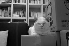 watch cat (like a book store cat) (yama_d) Tags: cat book bookshelf