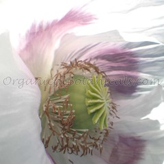 13483169_10206458554679102_571034502467950041_o (Unusual Botanicals) Tags: fish macro eye art lens photography high grow fisheye attachment afghan poppy poppies resolution farms hd how growing hq poppyseed izmir lenses botanicals iphone highres papaversomniferum opiumpoppy poppypods organical opiumpoppies turkishimports iphoneography poppycultivation organicalbotanicals opiumpoppycultivation opiumpoppiesseed izmiroilampspicecompany izmirpoppy
