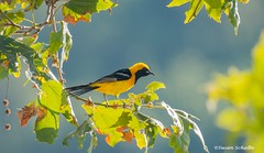 An oriole in the sycamore (Photosuze) Tags: orioles male hoodedoriole sycamore trees leaves colorful birds avians aves animals nature wildlife