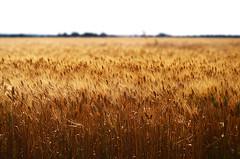 Wheat (explored) (Angela Bucci) Tags: nikon dof wheat explore nikkor fiend grano dephtoffield d3100