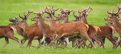 DSC_0061 (christographerowens) Tags: red deer herd d3200