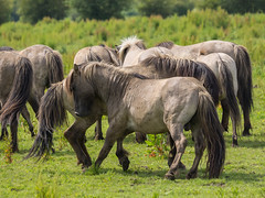 P6190134 (Rebecca_Wilton) Tags: summer horse netherlands europe wildlife nederland olympus stallion paard em1 2016 oostvaarderplassen konikhorse zuikodigital50200mm