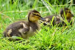 And then there was nine :)) (Kay Musk) Tags: mallard duck ducklings wildlife wild waterfowl nature gardenwildlife nikond3200 essex uk