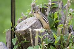 IMG_4635eFB (Kiwibrit - *Michelle*) Tags: tree grass birds woodpecker squirrel maine feeder chipmunk monmouth 2016 061916