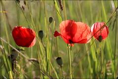 Klatschmohn am Kornfeld (pappleany) Tags: red flower rot outdoor natur pflanze blume farbe mohn klatschmohn heiter pappleany