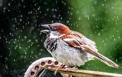 Bird, sparrow in the rain DSC_5776  Moineau dans la pluie (Nicole Nicky) Tags: canada bird nature wet rain pom backyard quebec outdoor pluie sparrow oiseau moineau dehors arrirecour naturephotocontest courenarrire