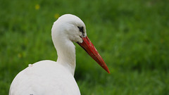Portrait of a stork (neya25) Tags: red green bird nature bokeh natur beak stork schnabel roter storch mzuiko75300mm olympusomdem10