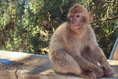 """Portrait of a Barbary Ape"" (Pensioner Percy(Away for a While,)) Tags: cruise vacation monkey sony ventura gibralter p0 barbaryape"