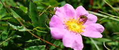 flower and bug at cape spear (postmand_b) Tags: pink canada flower bug insect blomst insekt capespear easternpoint lyserd