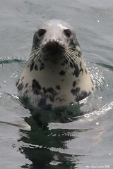 Seal (AMKs_Photos) Tags: nature animal canon photography eos grey scotland sailing fife may reserve tourist forth seal 7d isle pleasure anstruther cruises attraction firth amk visitscotland of halichoerus grypus hookednosedseapig hooknosedseapig amksphotos