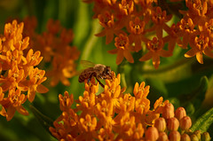 Honey Bee on Butterfly Weed (AZSunsets) Tags: orange plant flower macro dof bee wildflower butterflyweed