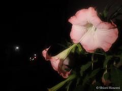 Brugmansia suaveolens (Shiori Hosomi) Tags: flowers plants june japan night tokyo nocturnal nightshot   brugmansia 2016 solanaceae  angelstrumpet solanales  noctuary   flowersinthenight   noctivagant 23