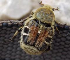 Scarab Beetle (Keith Roragen) Tags: insect nebraska beetle chafer scarab coleoptera scarabaeidae piger trichiotinus