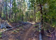 Thru the Cedar Grove (dinannee) Tags: forest trail cedars