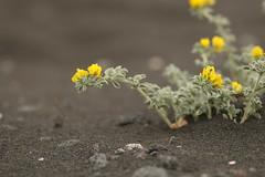 (Derbyshire Harrier) Tags: beach yellow blacksand spring mediterranean stromboli aeolianislands 2016 volcanicsand