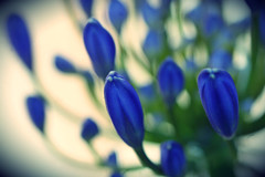 Tangled Up In Blue (sarahellenspringer) Tags: blue abstract flower lily blossom bloom lilyofthenile 7dwf