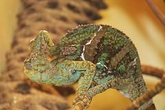 National Zoo ~ Veiled Chameleon - HBW! (karma (Karen)) Tags: washingtondc nationalzoo reptiles reptilehouse veiledchameleon dof bokeh hbw bokehwednesdays cmwd