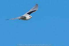 Black-shouldered Kite (EnviroAssiduous) Tags: raptor australianbird blackshoulderedkite