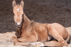 Sun Bathing Joe (winkler.roger) Tags: horse animal colt foal americanquarterhorse domesticanimal