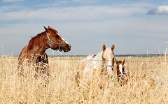 horses in the field, in Weld County, Colorado - PLDL6136 (Paul L Dineen) Tags: family horses brown nature field grass animals colorado pinnacle weldcounty