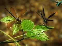 Dragonflys (roberto.piscitello) Tags: libellule dragonfly natura insetti verde ali volare naturaleza nature animali piante estate bosco hood bosque fotonature macro composizione zoom fujifilm foglie ciclonature allnaturesparadise