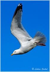 Dive I (lukiassaikul) Tags: wildlifephotography wildanimals urbanwildlife wildbirds largebirds birds seagull herringgalls sky fly flight wings bluesky